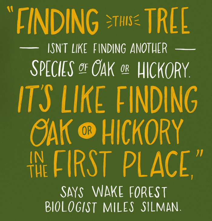 """Finding this tree isn't like finding another species of oak or another species of hickory – it's like finding oak or hickory in the first place"" says Wake Forest biologist Miles Silman."