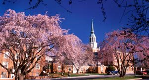 Cherry trees bloom in early spring on the campus of Wake Forest University, giving a bright pink glow to the campus.