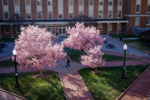 Wake Forest students walk to class across Tribble Plaza past blooming cherry trees.