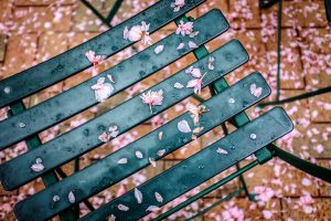 Petals from a cherry tree cover the cafe chairs outside Kitchin Hall.