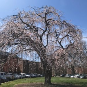 Blooming trees on campus