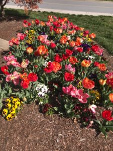 Tulips at Alumni Hall