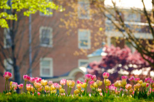Tulips bloom along the main road on the campus of Wake Forest University, Thursday, April 12, 2018.