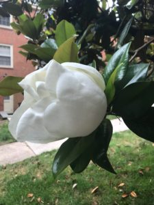 Magnolias in bloom outside of North Campus Apartments building 2