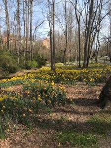 tulips on the walking path