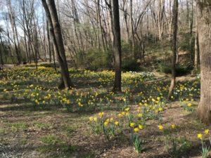 daffodils in Reynolda walking path