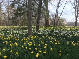 tulips in Reynolda Gardens