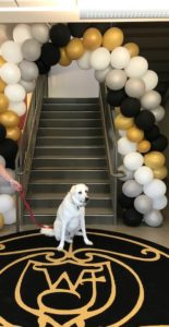 Take Your Dog to Work Day - Fenster, a Great Pyrenees/Lab mix