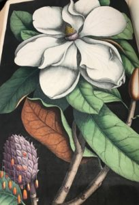 Magnolia drawing in a large book of flora and fauna