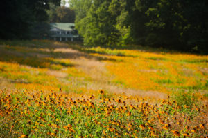 Black Eyed Susans bloom bright yellow in the meadow in front of Reynolda House Museum of American Art on Tuesday, June 30, 2009. Gardeners allowed the field to grow into a meadow starting in 2008.