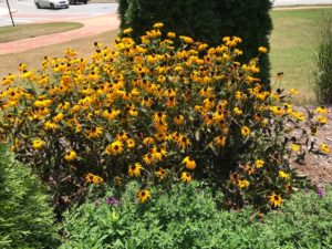 Alumni Hall black eyed susans