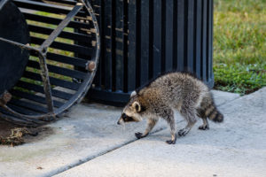 A raccoon gets into a trash can outside the Welcome Center on campus on Wednesday, July 17, 2019.