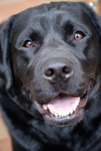 Therapy dogs visit Farrell Hall on the Wake Forest campus to provide stress relief for students. Black Labrador Retriever Yukon enjoys the gathering.