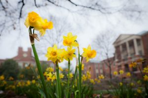 Daffodils bloom in front of the Benson Center on the campus of Wake Forest University on Monday, March 19, 2012.