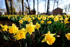 Daffodils bloom on the south campus of Wake Forest University on Wednesday, March 16, 2016.