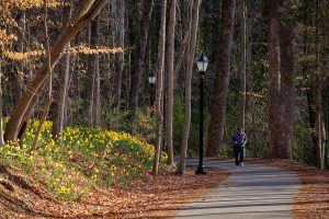 Daffodils bloom along the pathway from the Wake Forest campus to Reynolda Village on Thursday, March 2, 2017. The landscaping crew planted 10,000 bulbs after the renovation of the pathway.