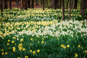 Daffodils bloom in a giant profusion of color along the meadow in front of Reynolda House, on the campus of Wake Forest University, Thursday, March 12, 2020.