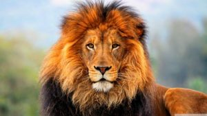 photo of a gorgeous male lion with full mane