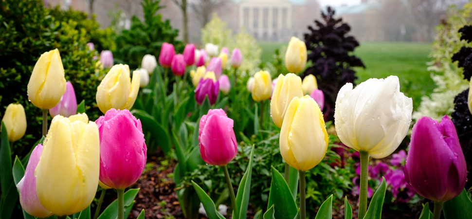 Tulips bloom on campus at Wake Forest University