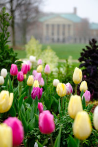 Tulips blossom on Hearn Plaza