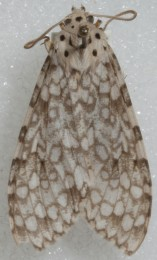 Carales arizonensis is a species of tiger moth indigenous to Arizona.