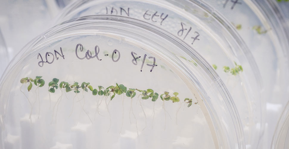 Arabidopsis seedlings in Gloria Muday's lab.