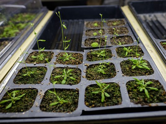 Wake Forest biology professor Gloria Muday works with arabidopsis plants in her lab at Wake Downtown.
