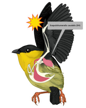 Bearded Manakin graphic showing muscle