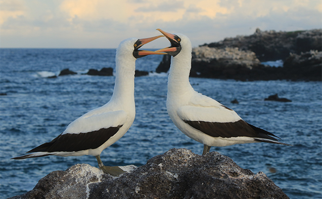 Nazca boobies at the Punta Cevallos colony in the Galápagos Islands.
