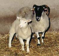 Dolly, the cloned sheep with mother