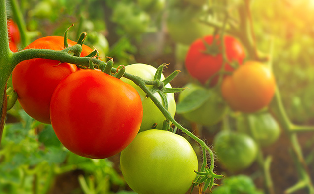 Stock image of tomatoes