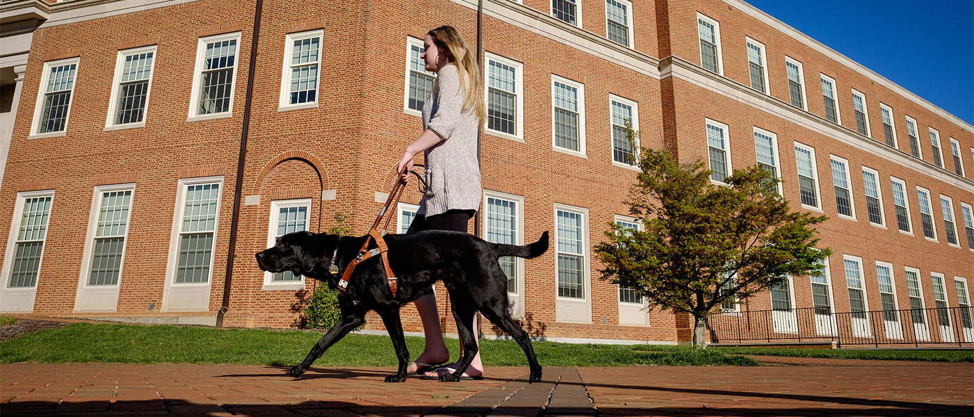 Enzo, a Black Labrador Retriever guide dog, leads Wake Forest student Kathryn Webster around campus