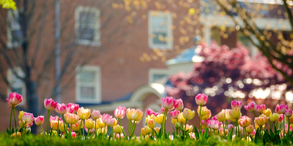 Tulips blooming outside Davis residence hall