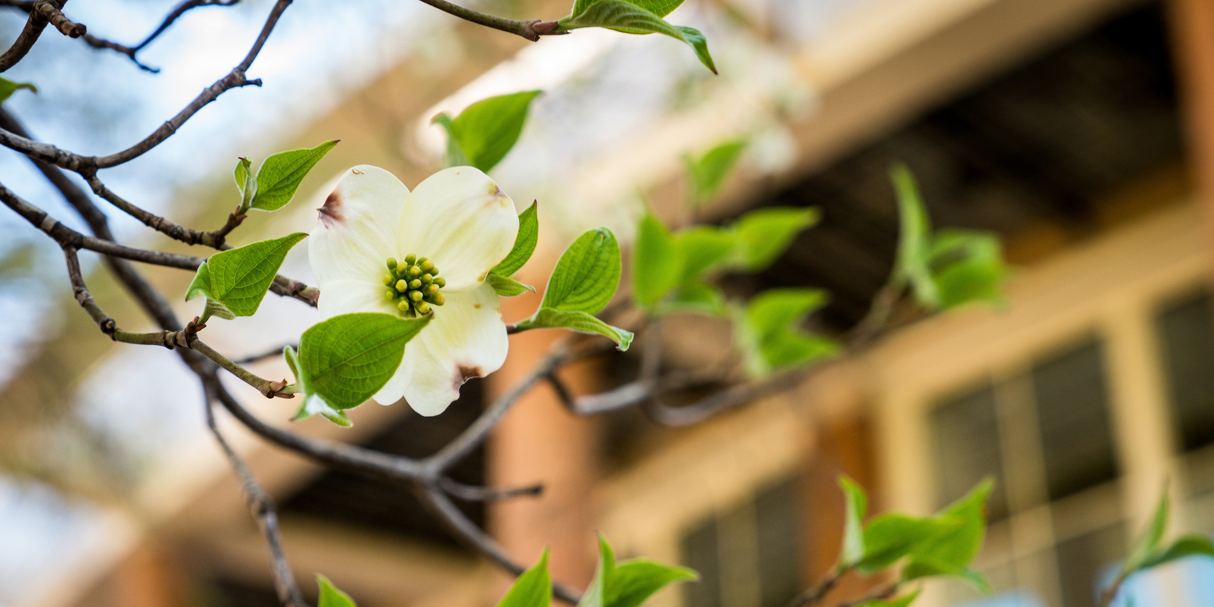 A dogwood bloom on campus