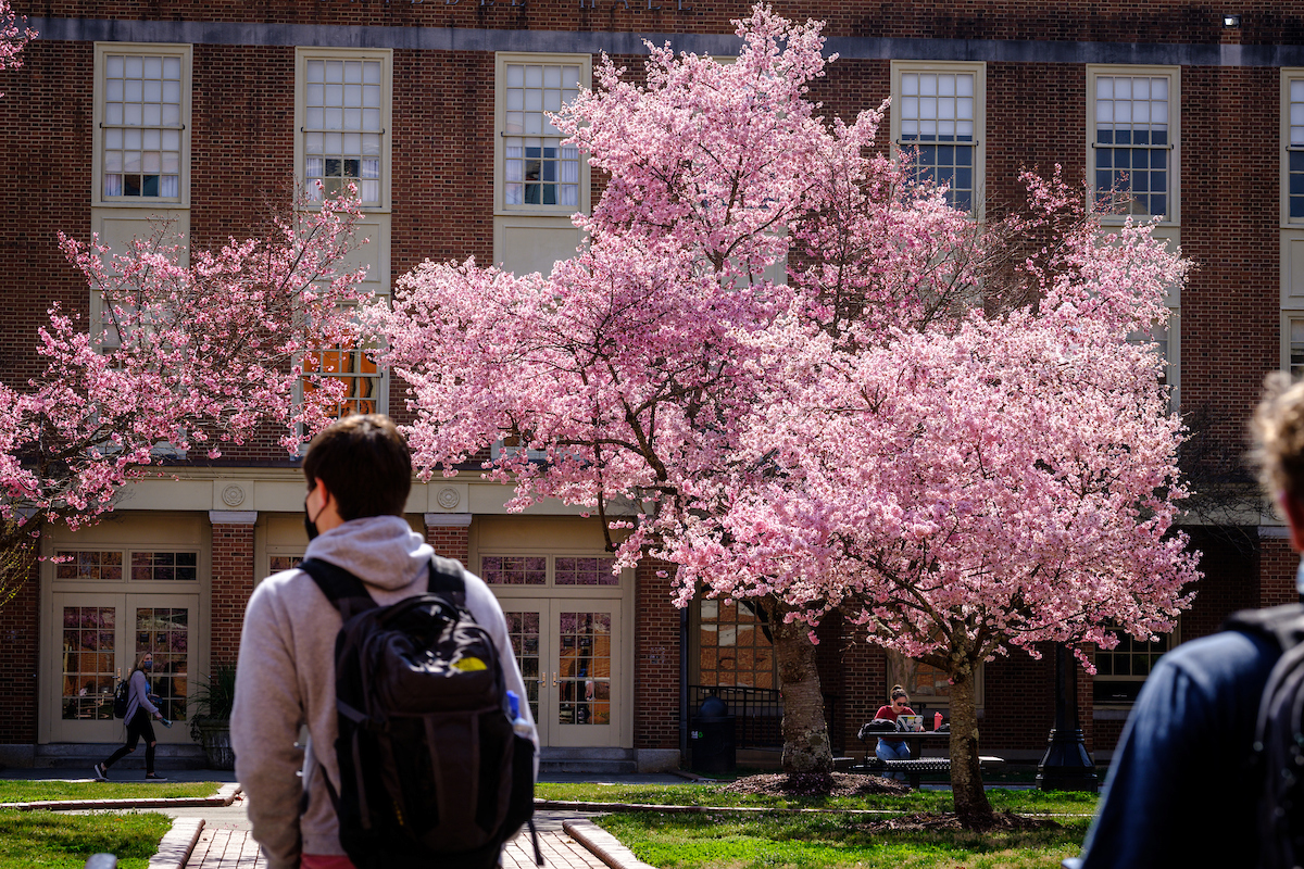 students walk under flowering trees on campus