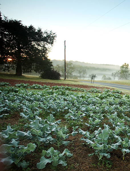 Collards and broccoli decorate the roadside at Harmony Ridge Farm.