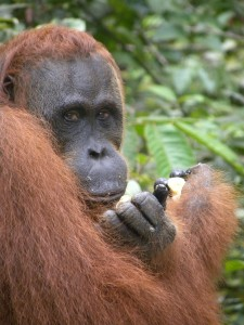 Orangutan in Tanjung Puting, a national park in Borneo. Did you know: orangutans make umbrellas from leaves when it rains and they make a new bed (called a night nest) every single night.