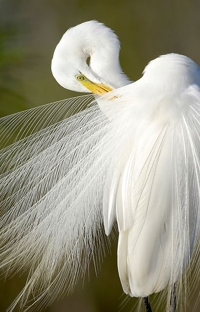 Carlton Ward Jr. ('98) photographed this white egret near the Shark River Slough in Everglades National Park to bring attention to declining wading bird populations.