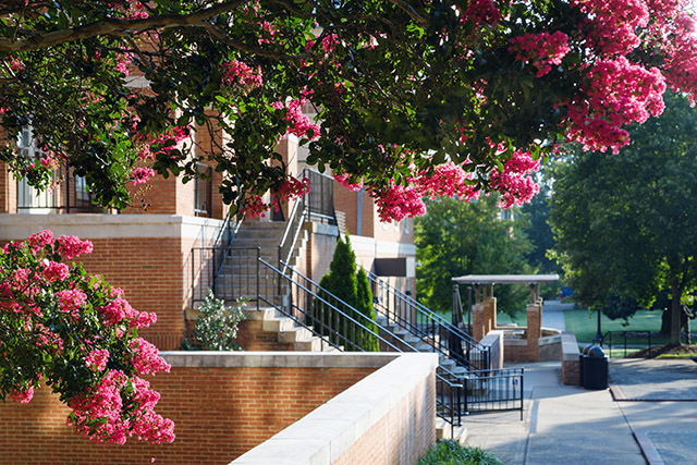 An early morning, late summer view of the Wake Forest campus on Wednesday, August 5, 2020. Crape myrtles bloom over Tribble Courtyard.