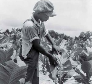 "Black residents in the rural South had few options to make a living other than sharecropping or working tobacco. Dorothea Lange photographed this son of a sharecropper ""worming"" tobacco in Wake County, North Carolina, in 1939."