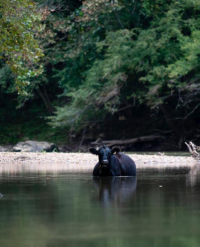 A cow on the Yadkin River