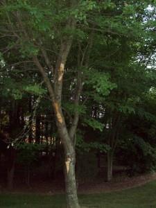 Damaged-tree-Worrell