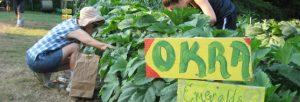 Harvesting-okra-558x190