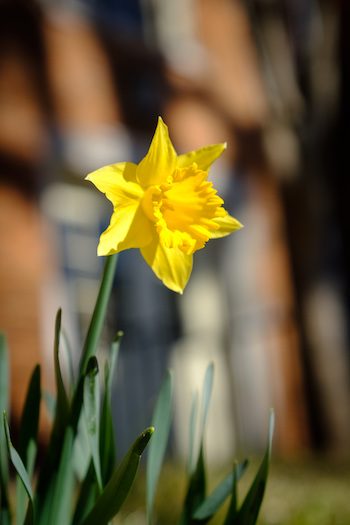 Photo of one of the first daffodils of the season