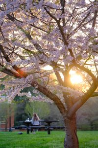 The setting sun lights up a cherry tree outside the library and a student sits studying at a picnic table