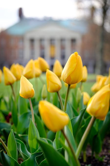 Close-up photo of yellow tulips with Reynolda Hall in the background