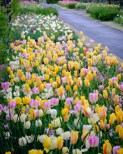 Rows of pink, white, and yellow tulips blooming in Reynolda Gardens