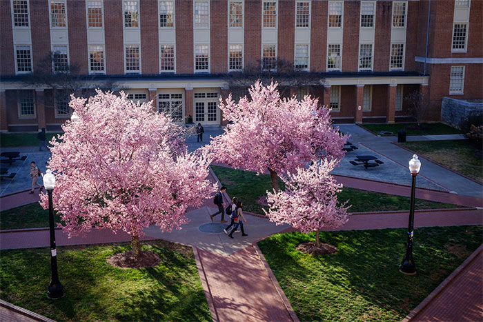 Wake Forest students walk to class across Tribble Plaza past blooming cherry trees