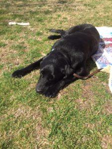Enzo, a black lab guide dog