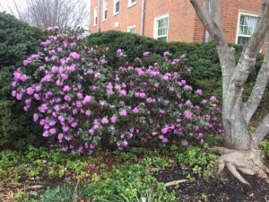 Blooming shrubs on the Quad